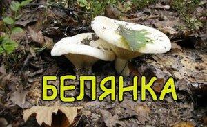 как солить грибы белянки фото